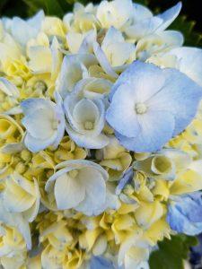 hortensia på Azorene